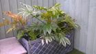 Garden planter with ferns Fatsia japonica Spiders Web and Astilbe Younique Pink<br /><br />www.heysgroundcare.co.uk